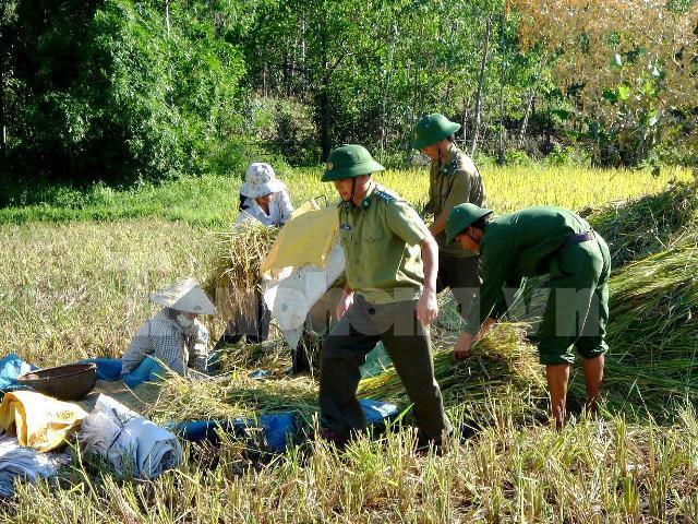 Gặt lúa giúp dân