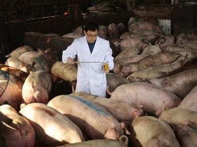 Nhiều trang trại tại Trung Quốc sử dụng lượng lớn thuốc kháng sinh cho lợn ăn