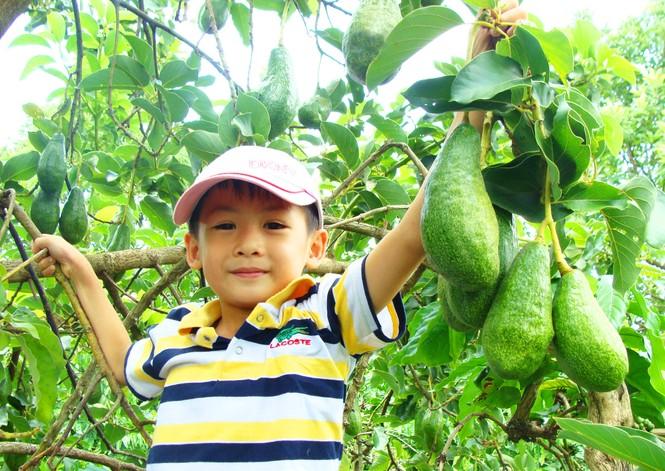 Bốn mùa bơ đều ra quả tươi ngon tại vườn anh Trịnh Xuân Mười