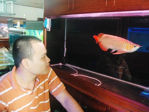 Con cá rồng đang được bán với giá 60 triệu đồng
