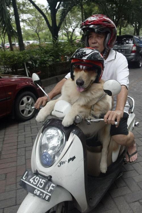 Chó đội mũ bảo hiểm ngồi sau xe như người - ảnh 4