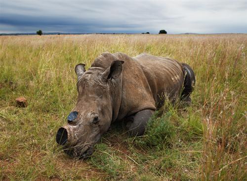 Còn đây là chú tê giác chưa tỉnh thuốc mê khi được các bác sỹ tiêm để cưa sừng