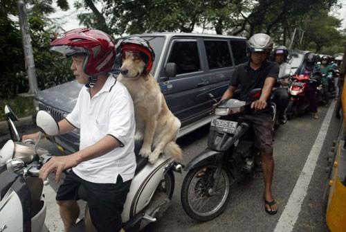Chó đội mũ bảo hiểm ngồi sau xe như người - ảnh 3