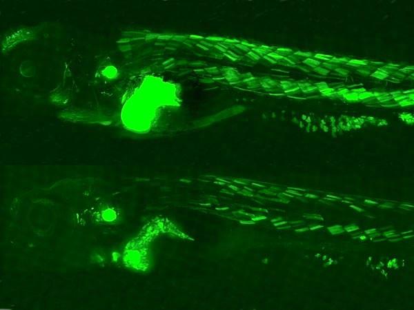 Ánh sáng màu xanh lục phát ra từ cơ thể con cá ngựa vằn