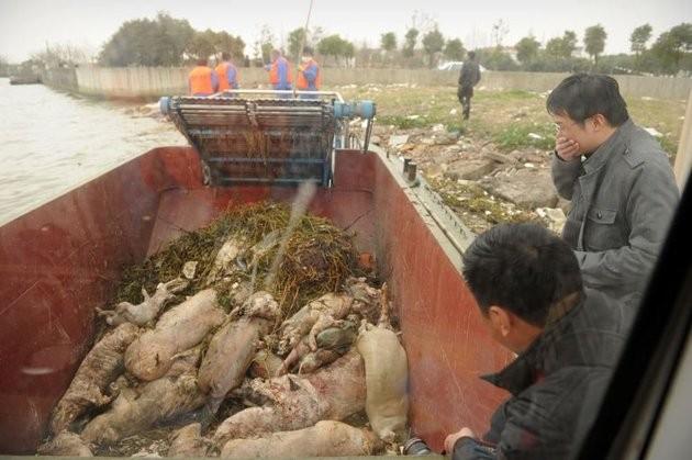 Chủ trang trại vứt 6.000 xác lợn chết xuống sông - ảnh 5