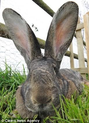 Chú thỏ lớn nhất thế giới nặng hơn 20 kg - ảnh 2