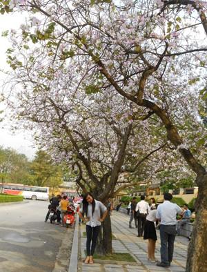Con đường hoa ban trải dài trên đường Bắc Sơn – Hoàng Diệu
