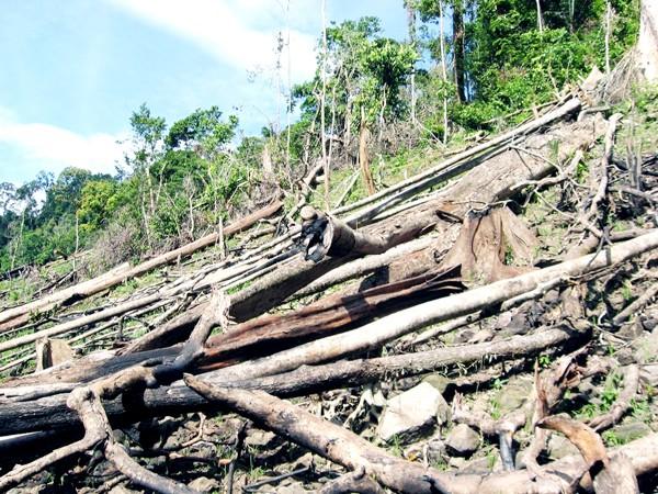 Mất đất sản xuất, dân Bắc Trà Mi đi tàn phá rừng Ảnh: Nguyễn Thành