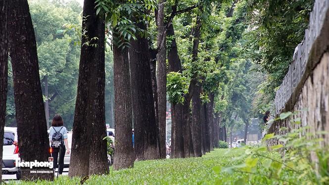 Hàng cây trên đường Kim Mã trước giờ chặt hạ, đánh chuyển - ảnh 5
