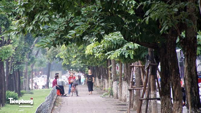 Hàng cây trên đường Kim Mã trước giờ chặt hạ, đánh chuyển - ảnh 11