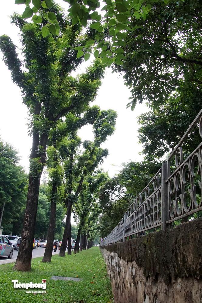 Hàng cây trên đường Kim Mã trước giờ chặt hạ, đánh chuyển - ảnh 12