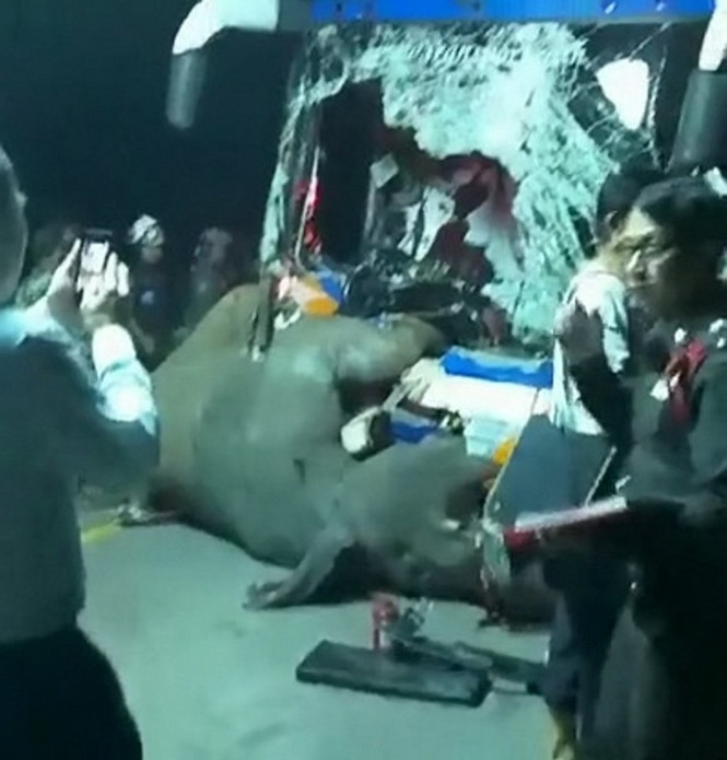 Đi bộ giữa đường, voi bị xe bus đâm chết thương tâm - ảnh 2
