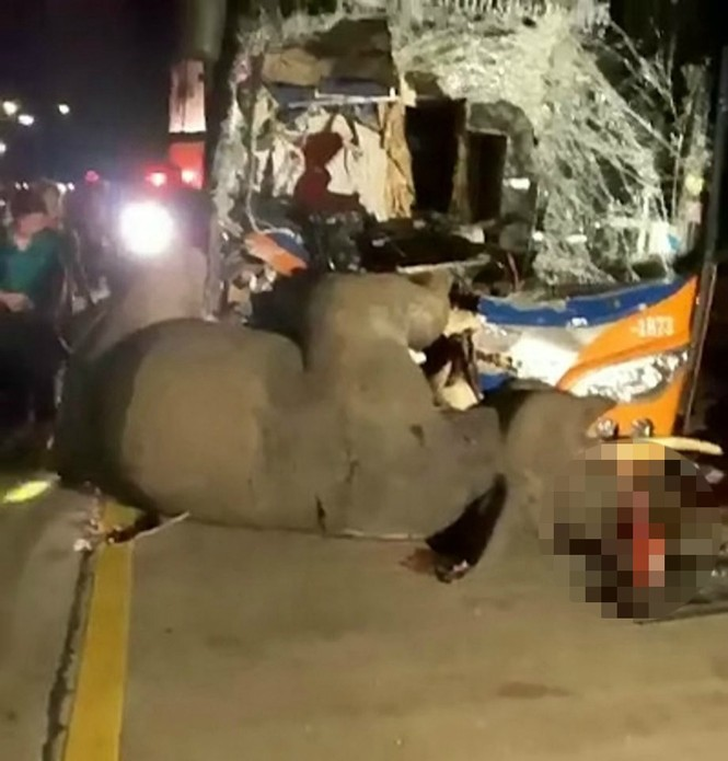 Đi bộ giữa đường, voi bị xe bus đâm chết thương tâm - ảnh 3