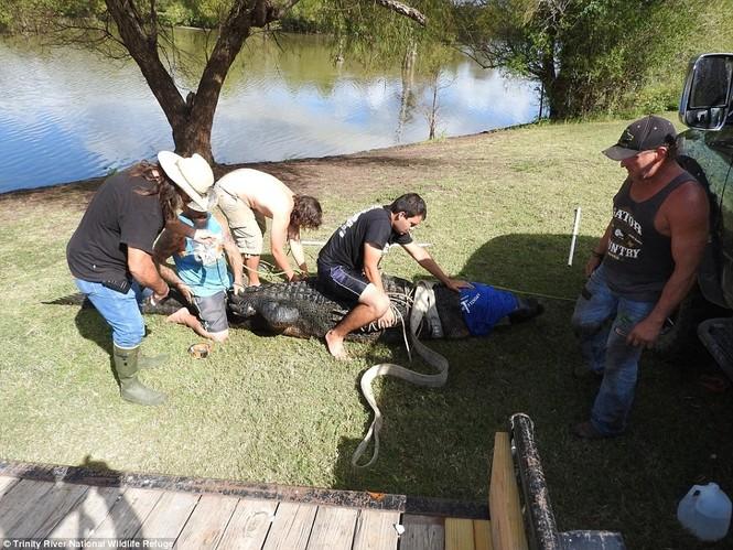 Bắt được cá sấu khổng lồ, dài 4,3m trong công viên - ảnh 4