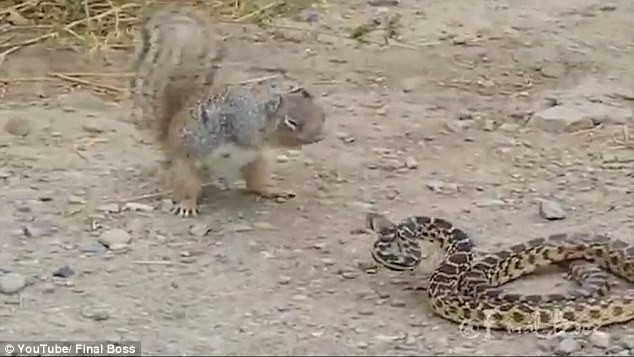Sóc đói mồi điên cuồng tấn công rắn - ảnh 1