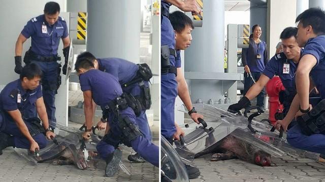 Nhân viên an ninh toát mồ hôi vây bắt lợn rừng lạc vào sân bay - ảnh 2