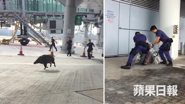 Nhân viên an ninh toát mồ hôi vây bắt lợn rừng lạc vào sân bay - ảnh 1