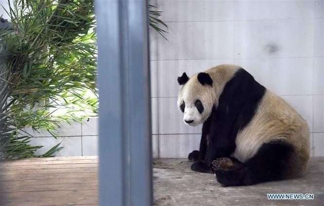 'Cụ' gấu trúc đực già nhất thế giới qua đời ở tuổi 31 - ảnh 5