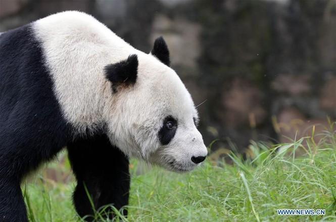 'Cụ' gấu trúc đực già nhất thế giới qua đời ở tuổi 31 - ảnh 1