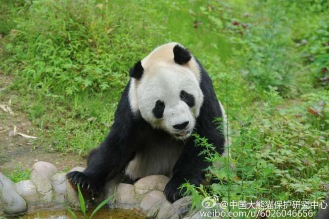 'Cụ' gấu trúc đực già nhất thế giới qua đời ở tuổi 31 - ảnh 2