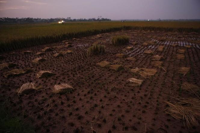 Người dân Nam Định dầm mưa gặt lúa chạy bão - ảnh 9