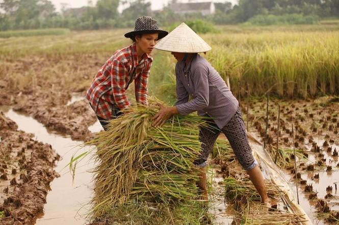Người dân Nam Định dầm mưa gặt lúa chạy bão - ảnh 1