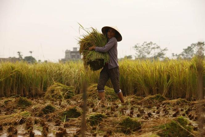 Người dân Nam Định dầm mưa gặt lúa chạy bão - ảnh 2