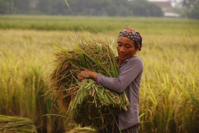 Người dân Nam Định dầm mưa gặt lúa chạy bão - ảnh 3