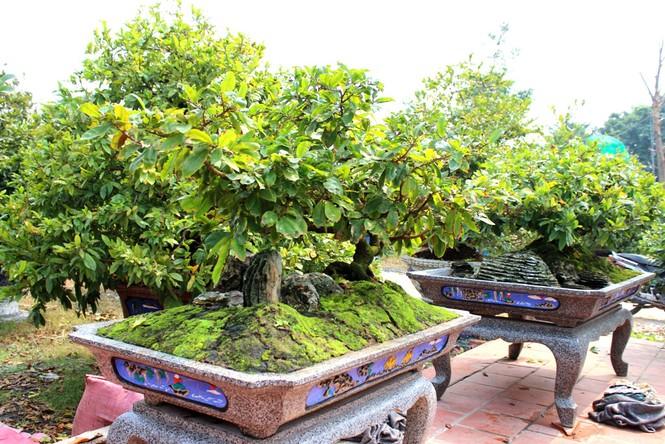 Hàng ngàn cây mai 'đổ bộ' Sài Gòn chờ Tết - ảnh 1