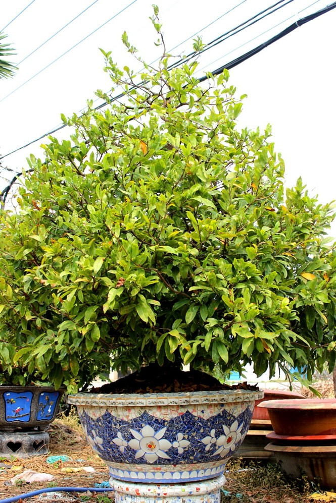 Hàng ngàn cây mai 'đổ bộ' Sài Gòn chờ Tết - ảnh 3