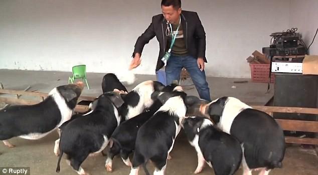 Trang trại bắt lợn chơi thể thao để thịt thơm ngon - ảnh 2