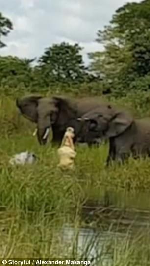 Cực hiếm cảnh cá sấu đói ăn ngoạm chặt vòi voi  - ảnh 2