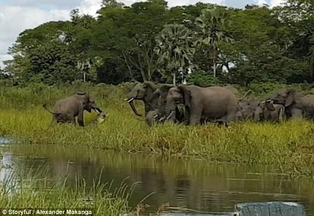 Cực hiếm cảnh cá sấu đói ăn ngoạm chặt vòi voi  - ảnh 3