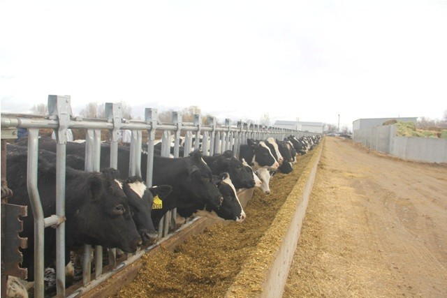 Vinamilk nhập hơn 2000 con bò sữa cao sản từ Mỹ - ảnh 2