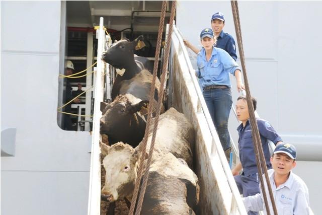 Vinamilk nhập hơn 2000 con bò sữa cao sản từ Mỹ - ảnh 5