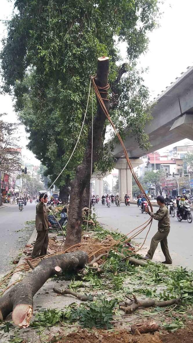 Hà Nội: Hàng loạt cây xà cừ cổ thụ tiếp tục bị đốn hạ - ảnh 1