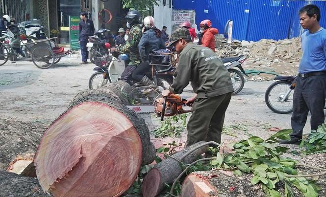 Hà Nội: Hàng loạt cây xà cừ cổ thụ tiếp tục bị đốn hạ - ảnh 10