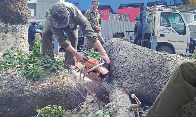 Hà Nội: Hàng loạt cây xà cừ cổ thụ tiếp tục bị đốn hạ - ảnh 9
