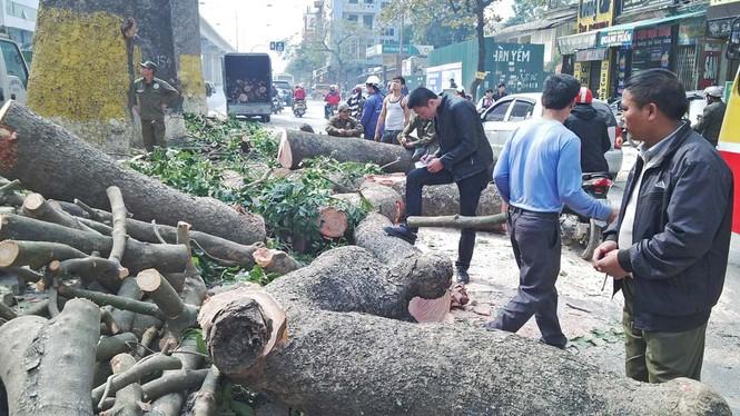 Hà Nội: Hàng loạt cây xà cừ cổ thụ tiếp tục bị đốn hạ - ảnh 8