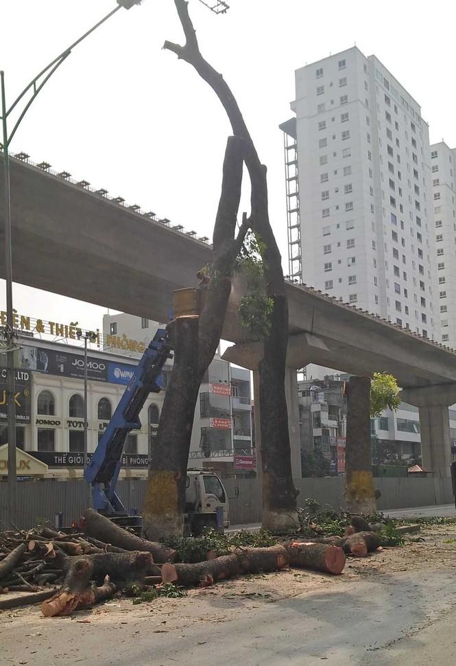 Hà Nội: Hàng loạt cây xà cừ cổ thụ tiếp tục bị đốn hạ - ảnh 5