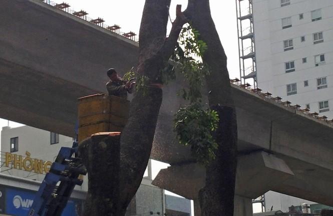 Hà Nội: Hàng loạt cây xà cừ cổ thụ tiếp tục bị đốn hạ - ảnh 7