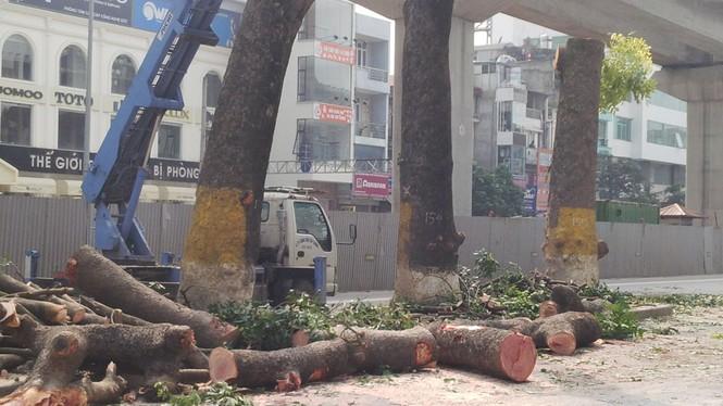 Hà Nội: Hàng loạt cây xà cừ cổ thụ tiếp tục bị đốn hạ - ảnh 4