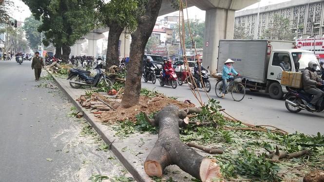 Hà Nội: Hàng loạt cây xà cừ cổ thụ tiếp tục bị đốn hạ - ảnh 2