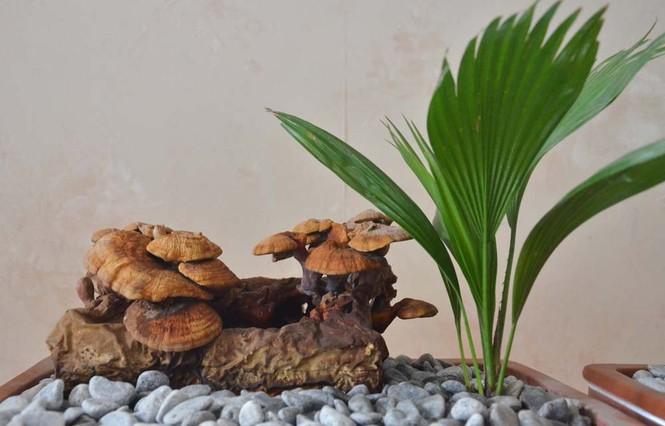 [ẢNH] Cận cảnh linh chi bonsai bạc triệu hút khách chơi Tết - ảnh 1