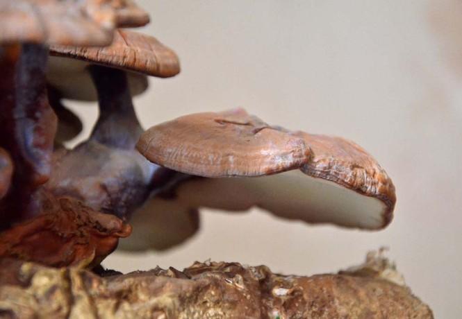 [ẢNH] Cận cảnh linh chi bonsai bạc triệu hút khách chơi Tết - ảnh 8
