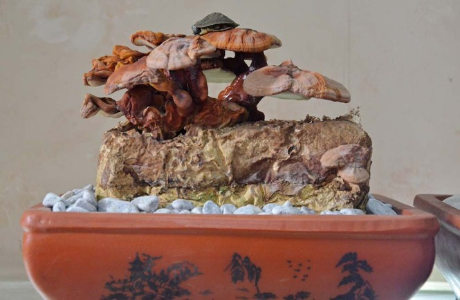 [ẢNH] Cận cảnh linh chi bonsai bạc triệu hút khách chơi Tết - ảnh 11