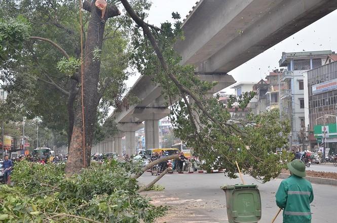 Nuối tiếc nhìn xà cừ bị chặt hạ trên đường Nguyễn Trãi - ảnh 5