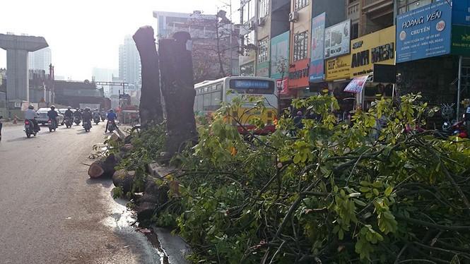 Nuối tiếc nhìn xà cừ bị chặt hạ trên đường Nguyễn Trãi - ảnh 4