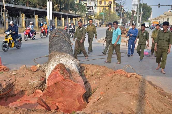 Nuối tiếc nhìn xà cừ bị chặt hạ trên đường Nguyễn Trãi - ảnh 1