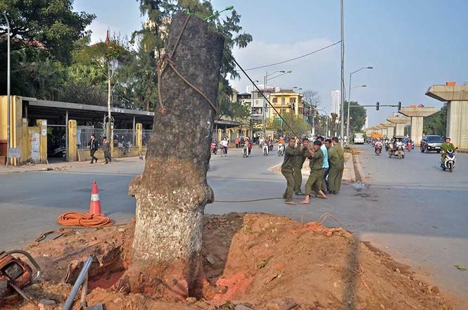 Nuối tiếc nhìn xà cừ bị chặt hạ trên đường Nguyễn Trãi - ảnh 11